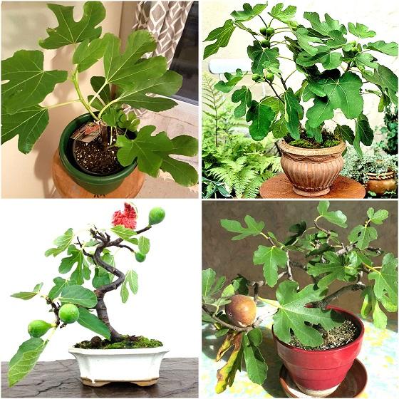 sung mỹ bonsai