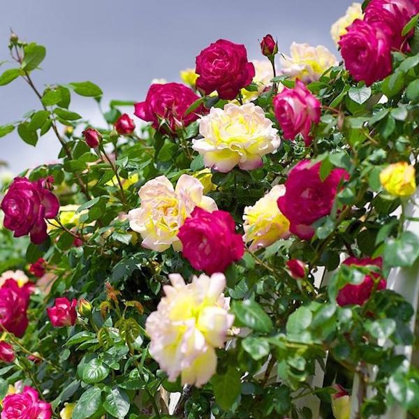 Kết quả hình ảnh cho hoa hồng leo